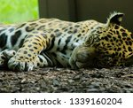 Sleeping Leopard A Zoo - Fine Art prints