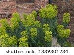 winter flowering mediterranean... | Shutterstock . vector #1339301234
