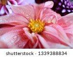 dahlia flowers background | Shutterstock . vector #1339388834