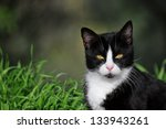 Stock photo half length portrait of a black and white cat 133943261