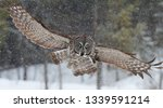 Great Grey Owl With Wings...
