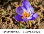 fall crocus  crocus speciosus ...   Shutterstock . vector #1339663421