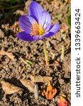 fall crocus  crocus speciosus ...   Shutterstock . vector #1339663424