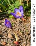fall crocus  crocus speciosus ...   Shutterstock . vector #1339663427