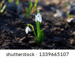 snowdrop or common snowdrop... | Shutterstock . vector #1339665107