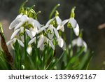 early flowering snowdrops ... | Shutterstock . vector #1339692167