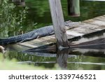 American Alligator Lounging On...