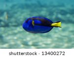 Wedgetailed Blue Tang ...
