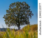 Small photo of Isolated lime tree in the meadow. Single tree on meadow. Big hefty tree.