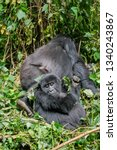 wild apes in central africa | Shutterstock . vector #1340243867