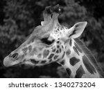 the giraffe  giraffa... | Shutterstock . vector #1340273204