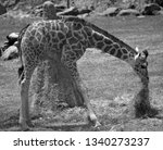 the giraffe  giraffa... | Shutterstock . vector #1340273237