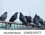 Pigeon Birds Standing Together...