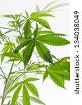 cannabis  marijuana  plant... | Shutterstock . vector #134038049