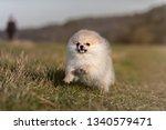 pomeranian puppy running in... | Shutterstock . vector #1340579471