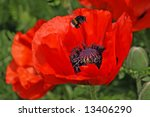 Red Poppies With Bumblebee
