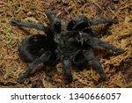 Brazilian Black Tarantula ...