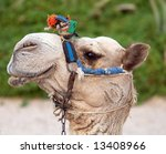 Curious camel - stock photo