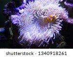 Clown Fish And Anemone In...