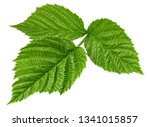 raspberry leaf isolated on... | Shutterstock . vector #1341015857