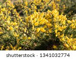 Fresh Gorse Flowers On Outdoor. ...