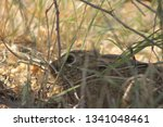 Stock photo indian hare or black naped hare roosting below a tree 1341048461