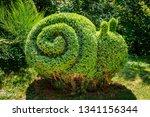 Snail Shaped Boxwood Bush Grows ...
