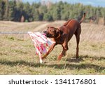 Stock photo dog breed rhodesian ridgeback caught the prey of the mechanical hare on the dog races coursing 1341176801