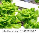butterhead lettuce at organic... | Shutterstock . vector #1341253547