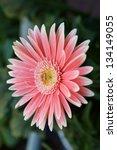 pink gerbera with beautiful... | Shutterstock . vector #134149055