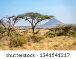 Giraffes And Acacia Trees In...