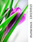 spring crocus flower | Shutterstock . vector #134154515