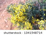 Bright Yellow Gorse Flowers In...