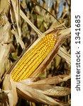 an ear of corn on the stalk in... | Shutterstock . vector #1341685