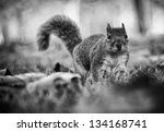 squirrel amongst the leaves | Shutterstock . vector #134168741