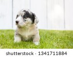 monthly puppy of a corgi sit... | Shutterstock . vector #1341711884