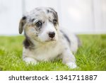 monthly puppy of a corgi sit... | Shutterstock . vector #1341711887