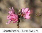 The Peach Flowers Tree. Ping...