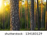 Nordic Pine Forest In Evening...