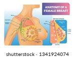 breast anatomy vector... | Shutterstock .eps vector #1341924074