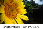 the beauty of sunflowers in the ... | Shutterstock . vector #1341978371
