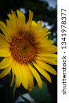 the beauty of sunflowers in the ... | Shutterstock . vector #1341978377