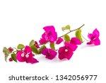 Bougainvillea  Flowers Isolate...