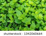garden planted spearmint | Shutterstock . vector #1342060664