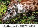 the giraffe  giraffa... | Shutterstock . vector #1342112804