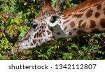 the giraffe  giraffa... | Shutterstock . vector #1342112807