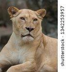 Lioness Panthera Leo Portrait...