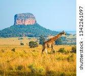 giraffe  giraffa camelopardalis ... | Shutterstock . vector #1342261097