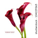 Beautiful Pink Calla Lilies On...