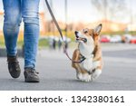 Welsh corgi pembroke dog walking nicely on a leash with an owner during a walk in the city